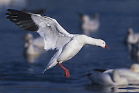 537296262 a wild adult snow goose chen caerulescens prepares to land in a small reed filled pond at bosque del apache national wildlife refuge new mexico united states