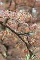 Acer palmatum 'Linearilobum Atrolineare', late April. A ribbon-leaf linearilobum Japanese maple.