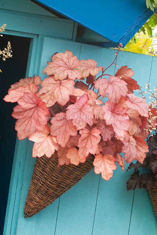 Heuchera in pot hanging on blue wall