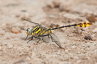 334250002 a wild male tamaulipan clubtail gomphus gonzalezi perches on the ground near the naba site and bentsen rio grande valley state park lower rio grande valley in south texas