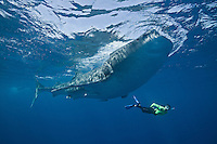 RX3449-D. Whale Shark (Rhincodon typus) feeding on fish eggs while woman (model released) swims alongside the 25 foot gentle giant. Hundreds of sharks gather in summer months, their visit timed with the mass spawning of bonito (also called little tunny). Gulf of Mexico, Mexico, Caribbean Sea.<br /> Photo Copyright &copy; Brandon Cole. All rights reserved worldwide.  www.brandoncole.com