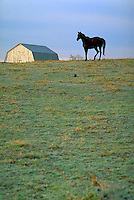thoroughbred horse on a Kentucky horse farm, in a field with a barn in background. Kentucky United States horse farm.