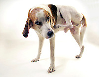 Walker hound dog scratching itchy skin..PROPERTY RELEASED