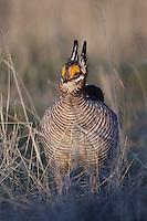 Lesser Prairie-Chicken, Tympanuchus pallidicinctus, male on lek displaying, Canadian, Panhandle, Texas, USA