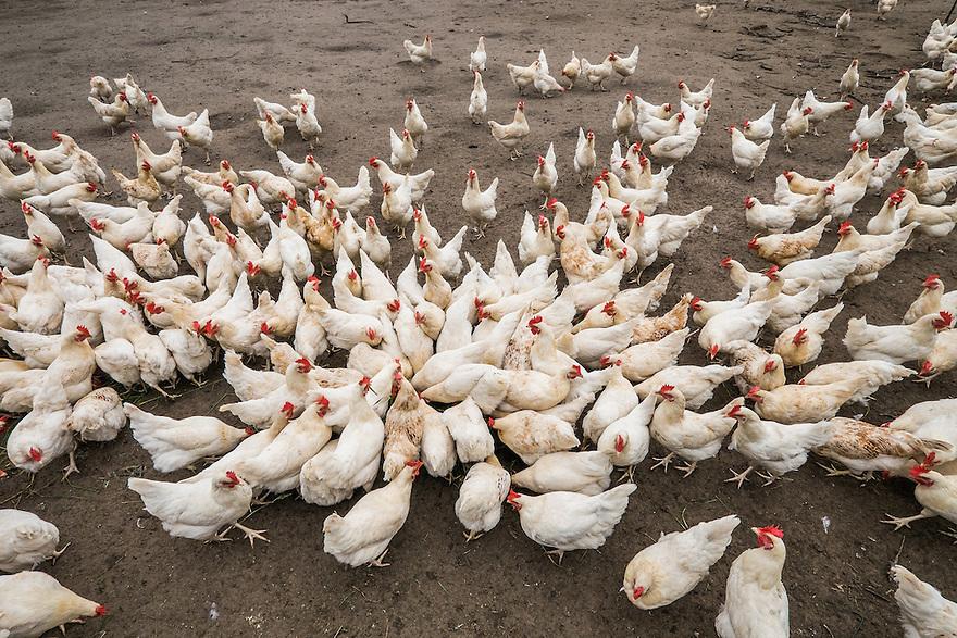 Nederland, Scherpenzeel, 20 juni 2015<br /> Open dag op biologische bedrijven. Lekker naar de Boer.  Door he hele land zijn veel biologische bedrijven open voor publiek. Er zijn informatiestands, rondleidingen, proeverijen. <br /> Biologisch bedrijf 't Paradijs. Duizenden kippen lopen buiten vrij rond om te scharrelen.<br /> Foto: Michiel Wijnbergh