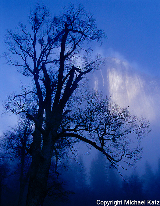 Silhouetted oak and El Capitan in lifting fog, El Capitan Meadow, Yosemite Valley