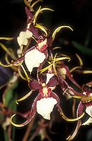 Brassia orchid hybrid Brassidium Kenneth Bivin 'Santa Barbara', HCC/AOS
