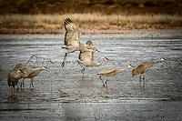 A group of sandhill cranes, some taking off and some in a pre-flight stance at Bosque del Apache National Wildlife Refuge in south-central New Mexico