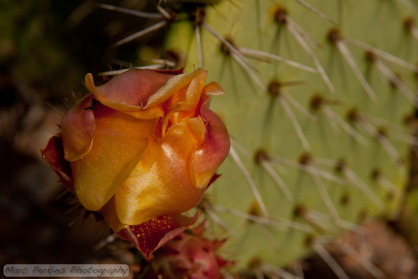 A flowering prickly pear, Opuntia, in Laguna Coast Wilderness Park; probably the largest flower we saw all day.