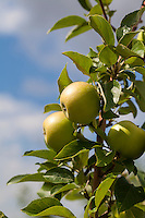 Yellow apples ripening on trees in an apple orchard.