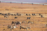 Barren ground caribou, rangifer tarandus, migrate across the tundra north of the Brooks range, Arctic, Alaska.