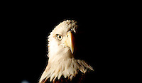 A dramatically lit portrait of a Bald Eagle, Ponce Inlet, FL, January 2010.  (Photo by Brian Cleary/www.bcpix.com)