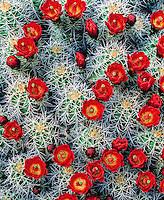 Claret Cup Cactus, Arches National Park, Utah   Echinocereus triglochidiatus