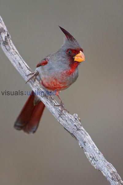 Pyrrholoxia (Cardinalis sinuatus) perched on a branch, Texas, USA.