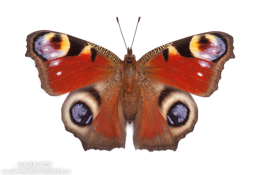 Peacock butterfly {Inachis io} basking with open wings on a white background in mobile field studio. Peak District National Park, Derbyshire, UK. August