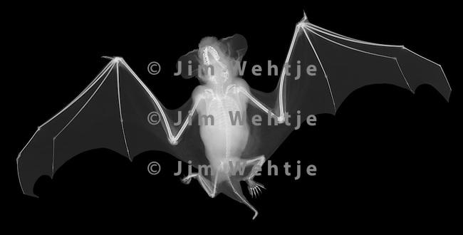 http://cdn.c.photoshelter.com/img-get/I0000Vy76DQrJcwI/s/650/650/little-brown-bat-white-on-black.jpg