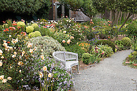 Bench in gravel patio with  Rose 'Lady Hillington' in left foreground. Sally Robertson Garden.