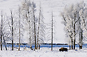 Bison and ice-covered Cottonwood trees in Lamar Valley in winter; Yellowstone National Park, Wyoming. .#D0401719