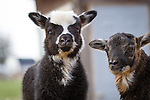 andrea sheep