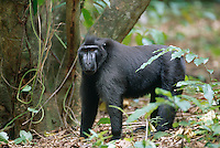 This 30 year old Celebes Crested Macaque (Macaca nigra) is lead of a group of 35 apes.