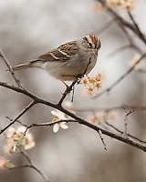 Chipping Sparrow in mid-February, when the Texas Flowering Dogwood Tree first blooms..