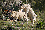 Brazoria County, Damon, Texas; a Charolais bull courts and mates with a white cow