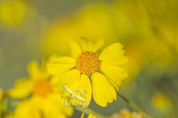 Brittlebush or brittlebrush (Encelia farinosa) flower.  Arizona.  Feb-March.  Common desert wildflower.