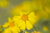 Brittlebush or brittlebrush (Encelia farinosa) flower.  Arizona.  Feb-March.  Common desert wildflower.
