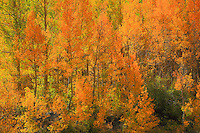 Aspens In Transition - Fall Color