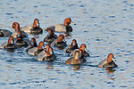 Redheads (Aythya americana) flock of males and one female swimming, New York, USA