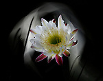 Night-blooming Cereus blossom light painted.