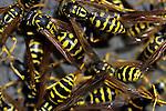 Group of paper wasps Marysville Washington State uSA