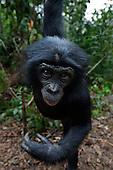 Bonobo adolescent male hanging from a tree (Pan paniscus), Lola Ya Bonobo Sanctuary, Democratic Republic of Congo.