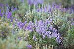 Lupine wildflowers and sage brush in Montana