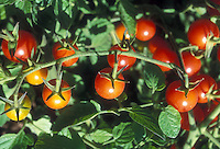 Cherry tomatoes Suncherry growing on tomato plant, showing closeup of red vegetable tomato,