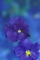 Two purple pansies close up