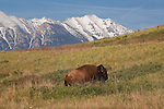 Bison Bull in the National Bison range in Montana