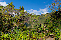 Lush green trees line the road to back of Waipi'o Valley on a sunny spring morning, Hamakua District, Big Island.