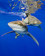 Oceanic Whitetip Sharks, Carcharhinus longimanus, off Kona Coast, Big Island, Hawaii, Pacific Ocean