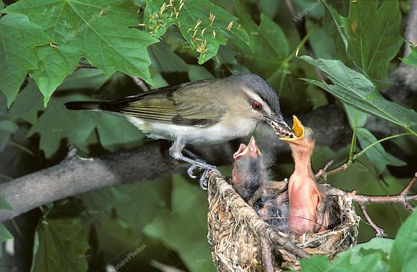Red eyed vireo nest - photo#23