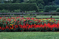 Zinnia elegans in red, pink yellow, with red Salvia 'Tallyho' annual flower garden against wooden fence, hot colored annual flowers