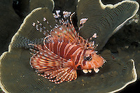 A Zebra Lionfish, Dendrochirus zebra, rests on a colony of Fine-Pored Coral, Montipora aequituberculata. Like all members of the scorpionfish tribe, lionfish are equipped with venomous spines, used for self-defense. Mergui Archipelago, Myanmar/Burma, Andaman Sea