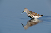 Dunlin, Calidris alpina, adult, Bolivar Flats, Texas, USA