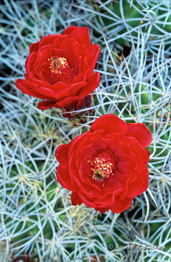 Red cactus flower (echinocereus) blooms in Joshua Tree National Park, California.