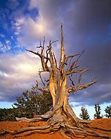 Bristlecone Pine at Sunset, Ashdown Gorge Wilderness, Dixie National Forest, Utah  Pinus longaeva