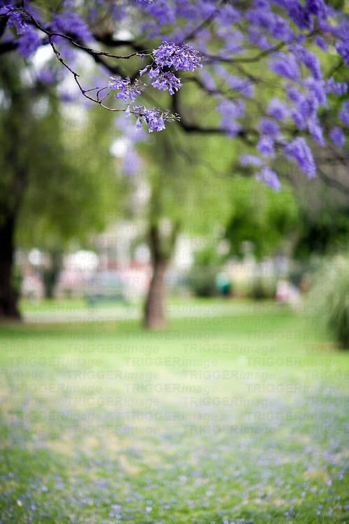 Jacaranda tree flowers, Seville, Spain