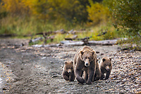 Brown bear sow with triplet cubs walks the shore of Naknek lake, Katmai National Park, Alaska.