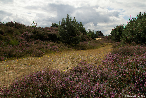 Bloeiende heide in Drents-Friese Wold