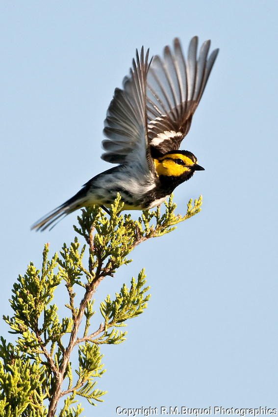 Golden-cheeked Warbler