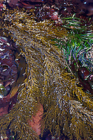 Tidepool Algae. Great Tidepool, Pacific Grove, CA
